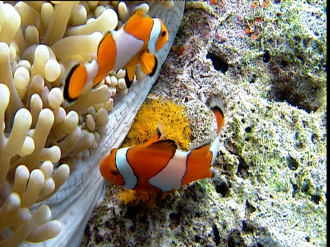 Pair of false clown anemone fish spawn next to anemone host, female larger, Sulawesi