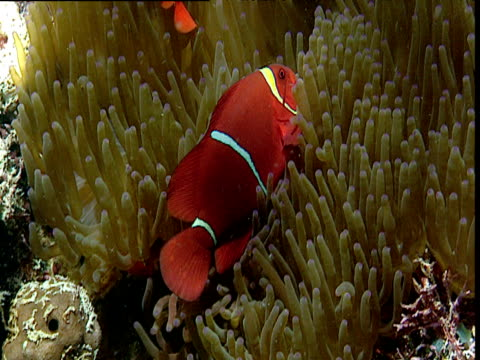 stockvideo's en b-roll-footage met pair of false clown anemone fish swim about in protective anemone host, sulawesi - clownvis