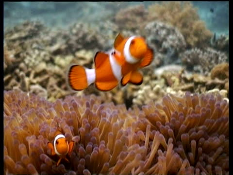 vidéos et rushes de pair of false clownfish by anemone, sipadan, borneo, malaysia - organisme aquatique
