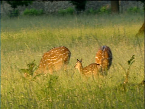 Pair of fawns jump and dance in long grass among mothers while they graze early morning Cotswolds