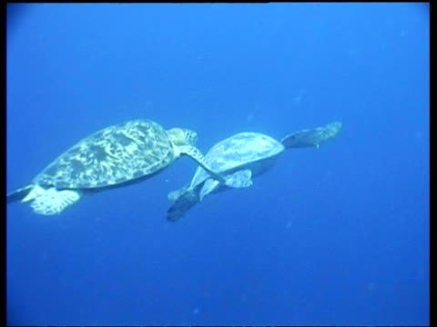 ms pair of female green turtle swimming, lesbian act, sipadan, borneo, malaysia - pair stock videos and b-roll footage