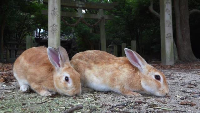vidéos et rushes de slomo pair of feral domestic rabbits foraging in japanese garden - rongeur