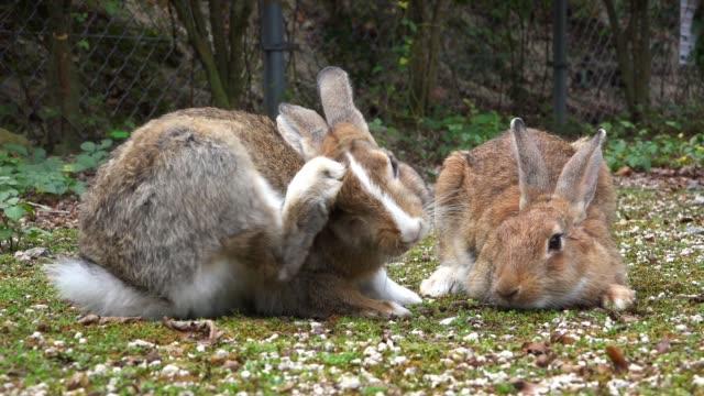 vídeos y material grabado en eventos de stock de slomo pair of feral domestic rabbits grooming on rough grass - hierba familia de la hierba