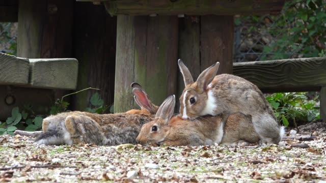 vidéos et rushes de slomo pair of feral domestic rabbits mating in park - lapin