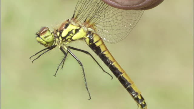 a pair of fingers holds a dragonfly by its wings. - gliedmaßen körperteile stock-videos und b-roll-filmmaterial