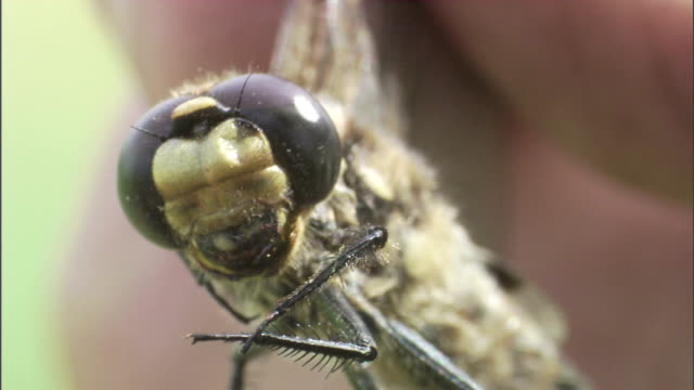 a pair of fingers holds a dragonfly by its wings. - inhaling stock-videos und b-roll-filmmaterial