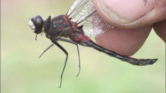 a pair of fingers holds a dragonfly by the wings. - gliedmaßen körperteile stock-videos und b-roll-filmmaterial