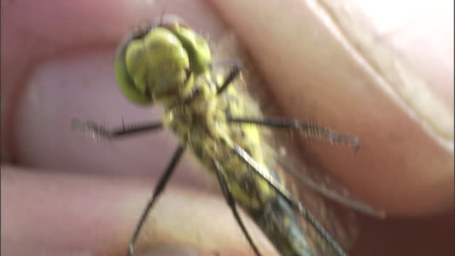 a pair of fingers holds a wriggling dragonfly by its wings. - gliedmaßen körperteile stock-videos und b-roll-filmmaterial