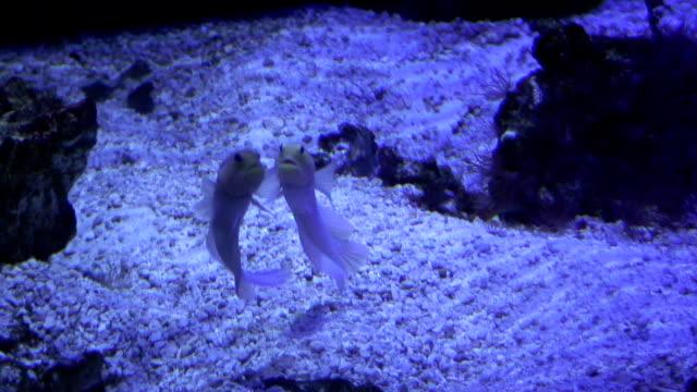 Pair of fish - HD 1080/60i