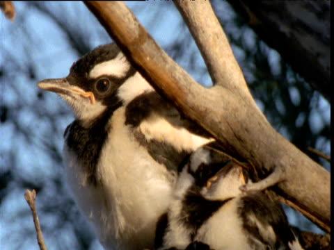 Pair of fledgling magpie larks preen and look about in nest, Northern Territory, Australia