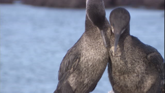a pair of flightless cormorants exchange gifts in a mating ritual. available in hd. - war in afghanistan: 2001 present stock-videos und b-roll-filmmaterial