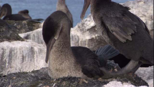 a pair of flightless cormorants mate on a nest. available in hd. - mating stock videos & royalty-free footage