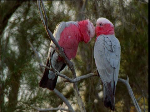 pair of galahs preen in tree, dalhousie, south australia - love emotion stock videos & royalty-free footage