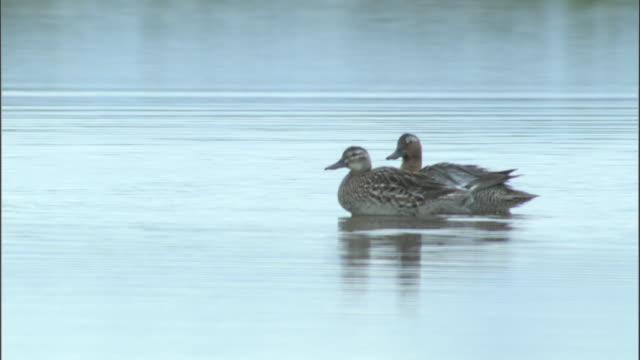 pair of garganey ducks swim on lake, bayanbulak grasslands - duck stock videos and b-roll footage