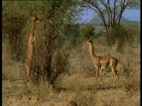 pair of gerenuks stand on their hind legs and browse on acacia tree, kenya - albero tropicale video stock e b–roll