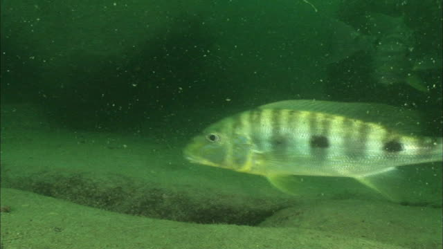 a pair of giant cichlid guarding their eggs, lake tanganyika, africa - rückenflosse stock-videos und b-roll-filmmaterial