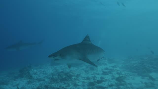 stockvideo's en b-roll-footage met paar reuzen tijgerhaaien zwemmen op onderzeese zand in zuid-malediven - rondrijden