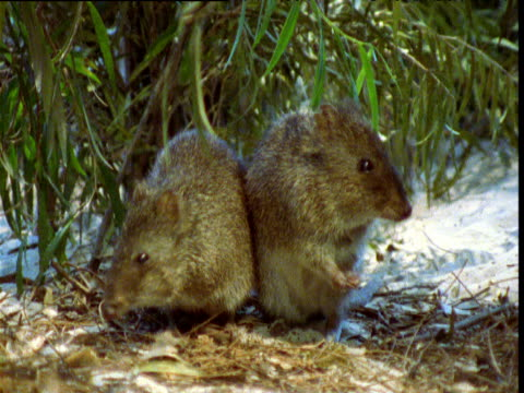 pair of gilbert's potoroos foraging on ground, albany, western australia - futter suchen stock-videos und b-roll-filmmaterial
