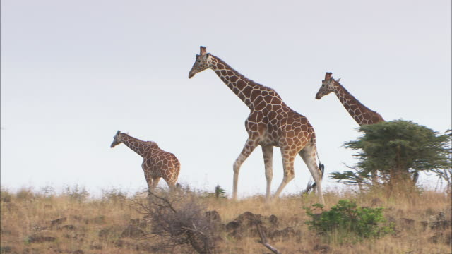 a pair of giraffes walk with their calf on the savanna. - young animal video stock e b–roll