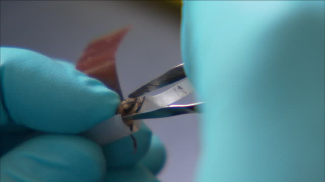 vidéos et rushes de a pair of gloved hands uses tweezers to place a bee in a capsule. - pince chirurgicale
