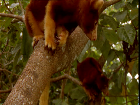 vídeos de stock e filmes b-roll de pair of goodfellow's tree kangaroos sit and clamber in tree, papua new guinea - mamífero