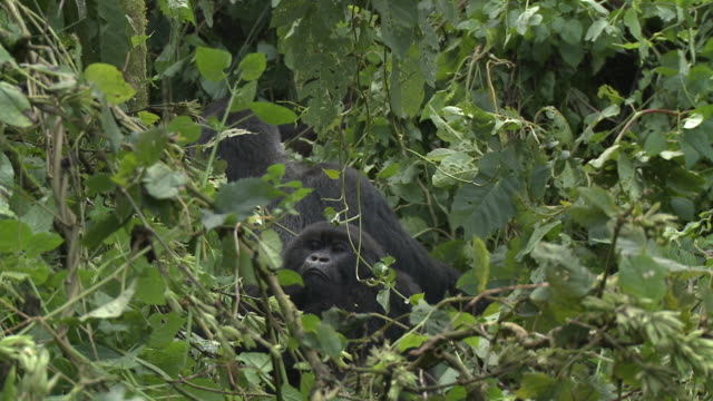 A pair of gorillas rests beneath lush green leaves. Available in HD.