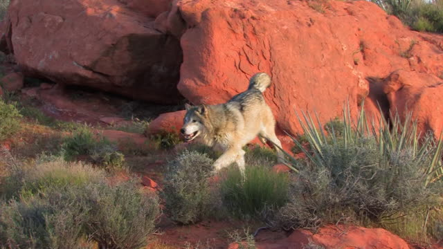 ms ts a pair of gray wolves (canis lupus) run to meet one another. /utah, usa - group of animals stock videos and b-roll footage