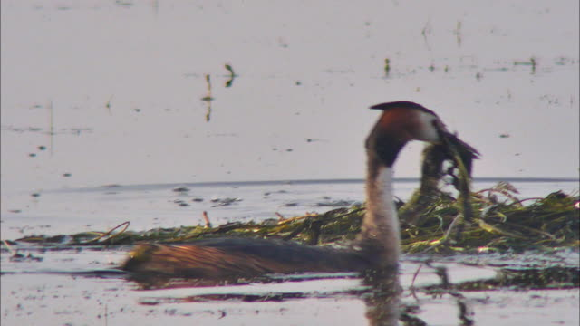 a pair of great crested grebes building nest with gathered water plants on sihwa lake wetlands (artificial marsh created for ecosystem restoration), ansan, kyonggi-do province, south korea - bird's nest stock videos & royalty-free footage