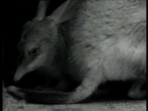 "vidéos et rushes de pair of greater bilbies in burrow, western australia - ""bbc natural history"""