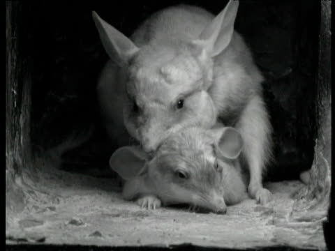 pair of greater bilbies mate in burrow, western australia - rabbit animal stock videos and b-roll footage