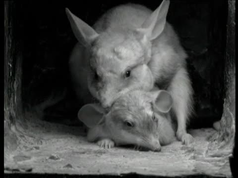 pair of greater bilbies mate in burrow, western australia - rabbit animal stock videos & royalty-free footage