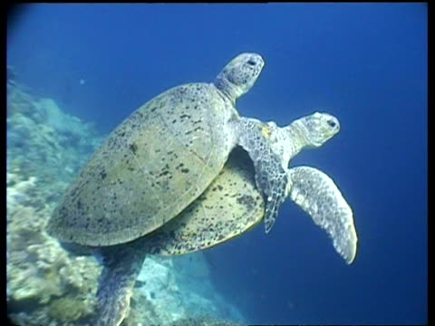 ms pair of green turtles mating, swimming in tropical blue water, borneo - 優美点の映像素材/bロール