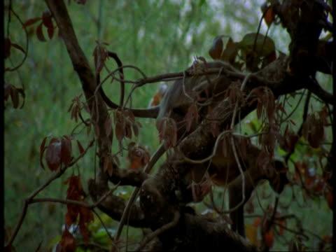 ms pair of hanuman langur, semnopithecus entellus, mating in tree, bandhavgarh national park, india - national icon stock videos & royalty-free footage
