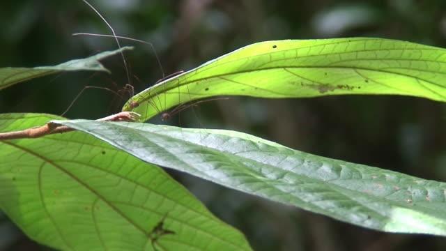 vídeos de stock e filmes b-roll de par de harvestmen uma folha - invertebrado