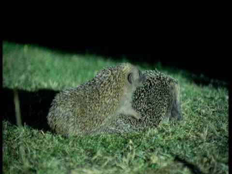 pair of hedgehogs mate on lawn, female runs away, uk - hedgehog stock videos & royalty-free footage