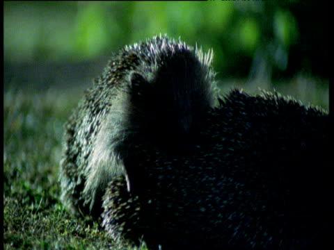 pair of hedgehogs mate on lawn, uk - hedgehog stock videos & royalty-free footage