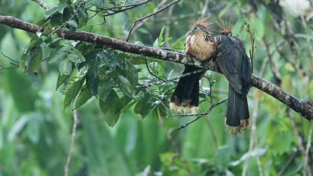 vídeos y material grabado en eventos de stock de pair of hoatzin (aka stinkbird) in a peruvian amazon tree - biodiversidad
