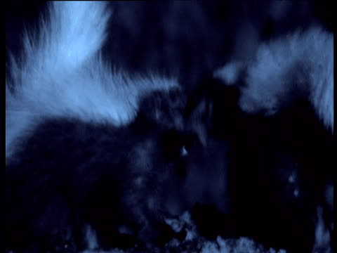 vídeos de stock, filmes e b-roll de pair of hog-nosed skunks meet each other and mate in dark bat cave, texas - acasalamento de animais