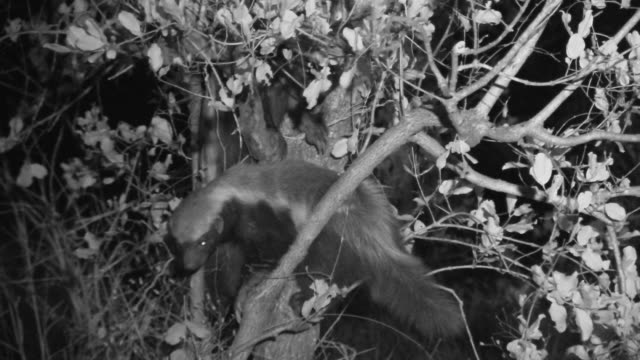 Pair of Honey Badgers clamber in tree at night.