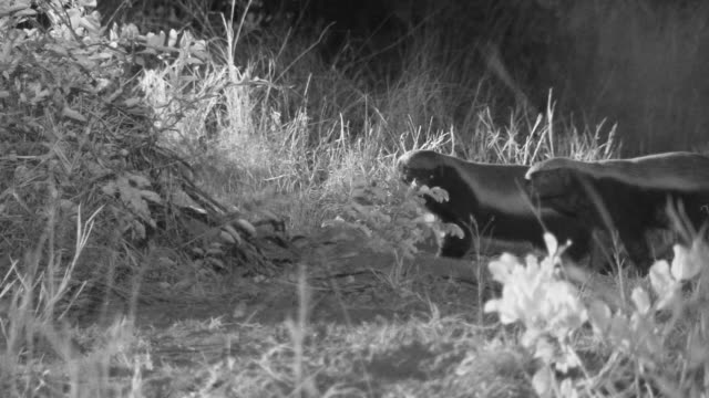 Pair of honey badgers stand and look at camera.