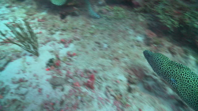 pair of honeycomb moray eels (gymnothorax favagineus) fighting, vaavu atoll, the maldives - pezzatura video stock e b–roll