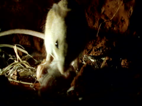 Pair of hopping mice tend to babies in burrow, Northern Territory