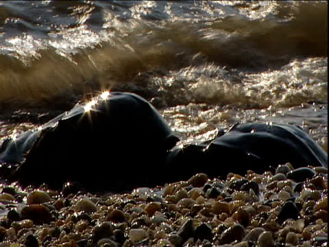 pair of horseshoe crabs on shore - spawning stock videos and b-roll footage