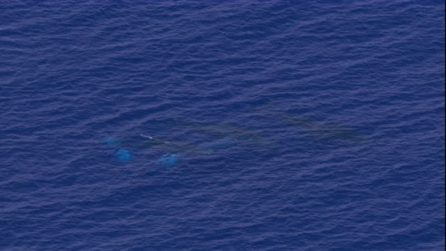 a pair of humpback whales surfaces and spouts. available in hd. - pair stock videos and b-roll footage
