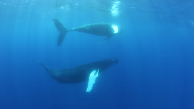 Pair of humpback whales swim past diver in Sargasso Sea, POV
