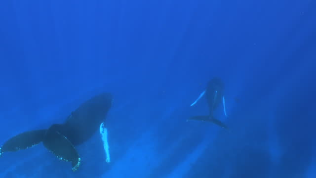 a pair of humpback whales swimming along the sea floor - humpback whale stock videos & royalty-free footage
