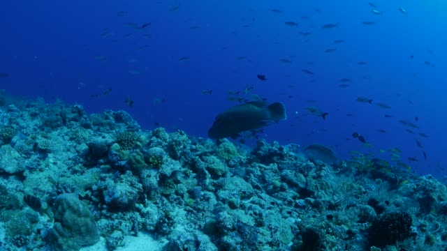 pair of humphead wrasse (napoleon fish), coral reef, palau - humphead wrasse stock videos & royalty-free footage