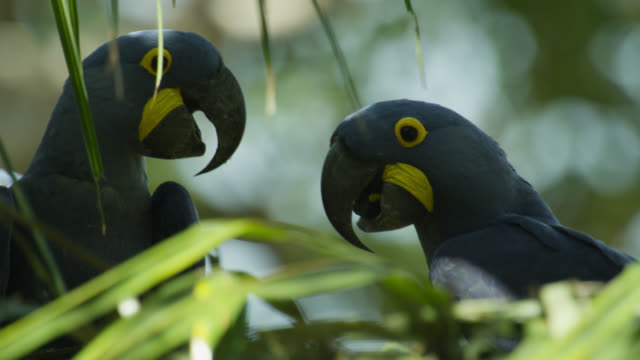 Pair of Hyacinth macaws (Anodorhynchus hyacinthus) perched in acuri palm tree.