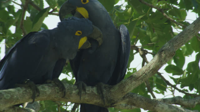 Pair of Hyacinth macaws (Anodorhynchus hyacinthus) perched in tree preen each other.