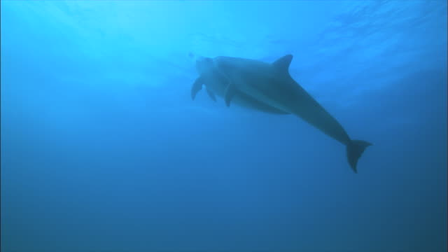 pair of indo-pacific bottlenose dolphins swimming under the sea / jeju-do, south korea - two animals stock videos & royalty-free footage